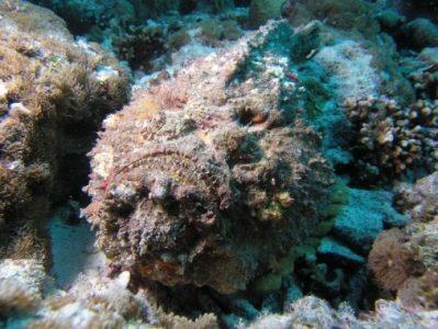 ikan lepu batu