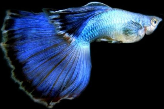 Ikan Guppy Blue Moscow