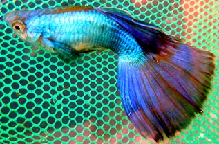 Ikan Guppy Young Pair Champion Purple