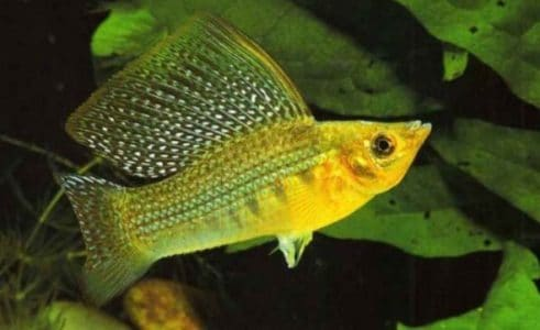 Molly Wild Green Sailfin