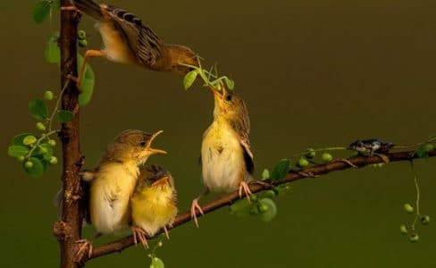 Burung Gold Headed Cisticola