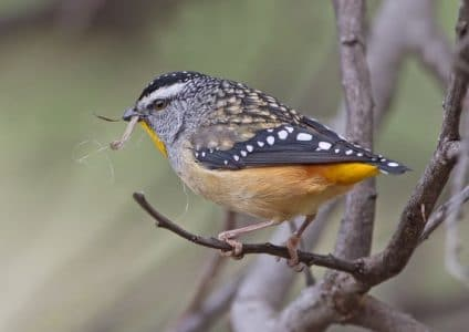 Burung Spotted pardalote