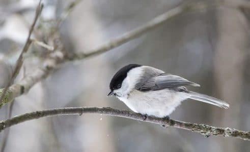 Burung Willow tit