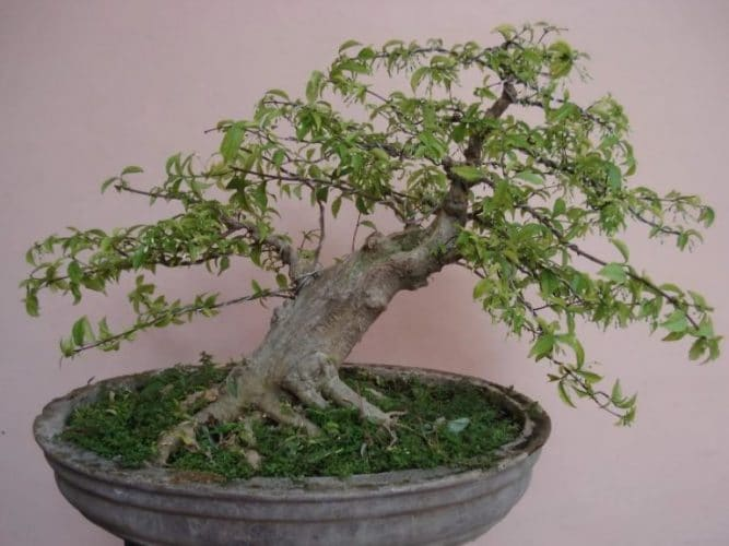 Bonsai Anting Putri