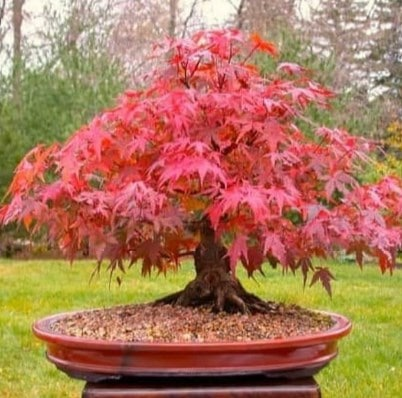 Bonsai Maple