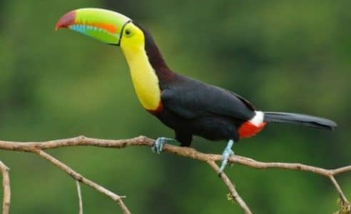 Burung Keel-billed Toucan
